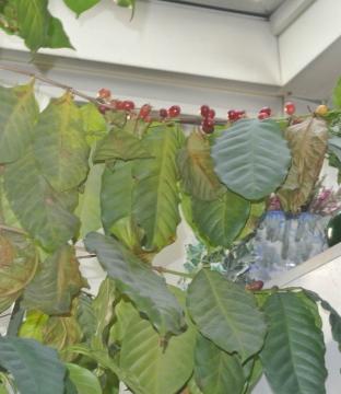 Die Kaffeepflanze trägt überraschend viele Kirschen.