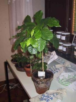 Kaffeepflanzen im Topf