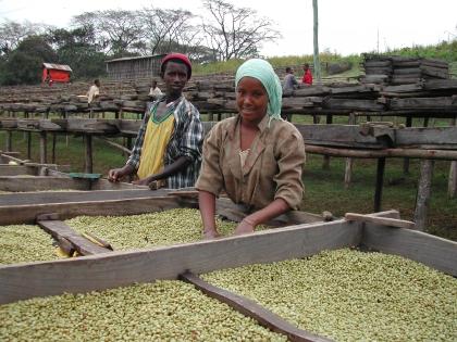 Getrocknet wird der gewaschene Kaffee auf Pritschen, damit er keinen unerwünschten Kontakt zu Keimen aus der Erde bekommt.