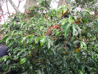 In dieser Region wächst auch heute noch wilder Kaffee.