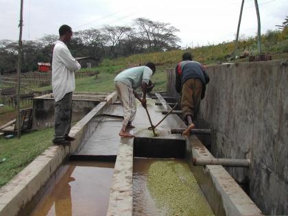 Nach der Fermentierung werden die Bohnen gut geschwemmt.