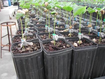 Farmer Tom Greenwell hat ein spezielles Verfahren entwickelt um die schädlichen Fadenwürmern, die Nematoden, die den Kaffeepflanzen die Wurzeln abfressern, zu bekämpfen. Er veredelt Kaffeepflänzchen. Die resistenten Wurzeln der Kaffeesorte Liberica verbindet er mit Trieben von Arabica-Pflanzen - mit Erfolg.